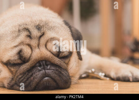Close-up face of Cute pug puppy dog sleeping. It is hoped the boss will come back soon - Stock Photo