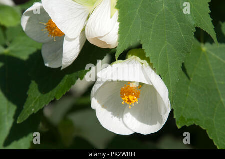 Sydney Australia, white chinese bell flowers - Stock Photo