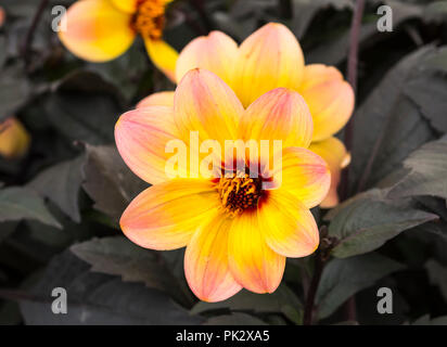 Colourful single flower of a Dahlia 'Mystic Fantasy' (AKA 'Hawaiian Dreams') half-hardy pink and yellow plant in Autumn in West Sussex, UK. Dahlias. - Stock Photo