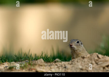 Souslik d'Europe - Spemophile d'Europe - European Souslik - European Ground Squirrel - Spermophilus citellus - Stock Photo