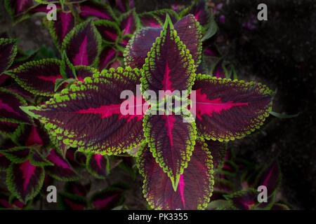Pink, Purple and Green Coleus - Stock Photo