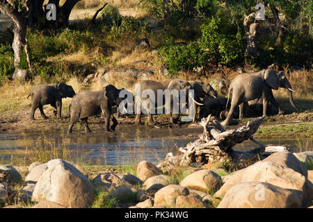 A breed herd wanders along the banks of the Ruaha River in the afternoon light. - Stock Photo