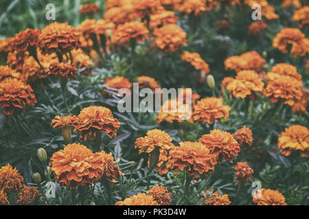 Marigold flowers. Garden flowers. Yellow flowers. Orange flowers. Summer flowers. - Stock Photo