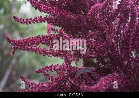 Amaranth plant. Ornamental purple inflorescences of amaranth. Bright fluffy blossom. - Stock Photo