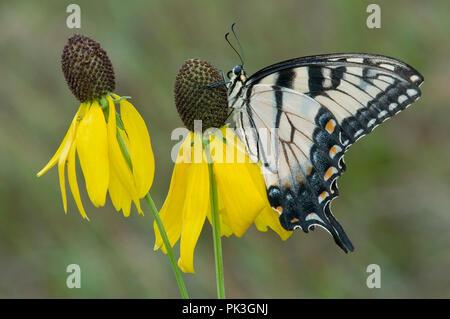 Eastern Tiger Swallowtail Butterfly (Papilio glaucus) on Gray-headed Coneflower (Ratibida pinnata), E USA, by Skip Moody/Dembinsky Photo Assoc - Stock Photo