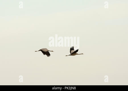 Common Cranes flying above a field near Günz near the coast of Baltic Sea in Mecklenburg- Western Pomerania in Germany.   Kraniche fliegen über einem  - Stock Photo
