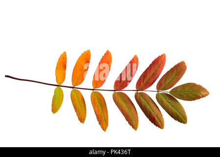 Single bright multi-colored leaf of ashberry painted in a palette of autumn colors, close-up, isolated on a white background - Stock Photo