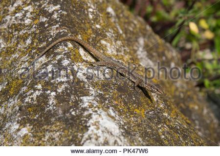 Italian wall lizard; ruin lizard; or İstanbul lizard Podarcis sicula; Sirmione; Northern Italy; Italy; Italian - Stock Photo