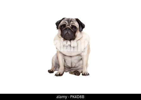 beautiful pug puppy dog sitting down with sweet face, isolated on white background - Stock Photo