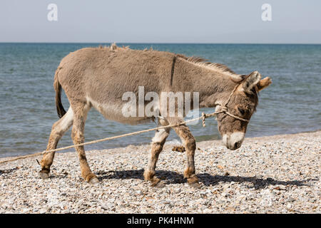 Young gray donkey trots along the shore of Song Kul lake in Kyrgyzstan - Stock Photo