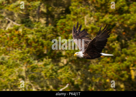 Weißkopfseeadler in der Johnstone Strait - Stock Photo
