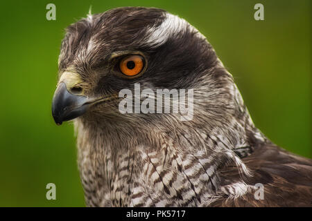 Closeup of a Goshawk as displayed at a falconry exhibition - Stock Photo