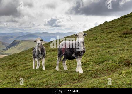 Herdwick Sheep, Lake District, Cumbria, UK - Stock Photo