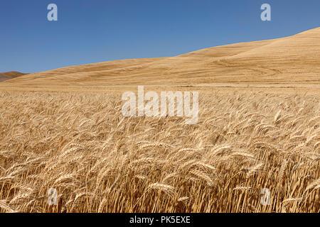 A field of wheat under a bright blue sky near Colfax, Washington. - Stock Photo