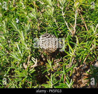 Vespiary in the middle of the green bush of rosemary with wasps Vespula Vulgaris - Stock Photo