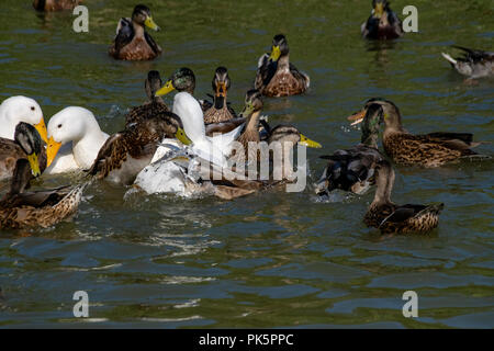 First season male mallard duckling duck leaping out of the water for duck pellets with white heavy Long Island American Pekin Ducks amongst the flock  - Stock Photo