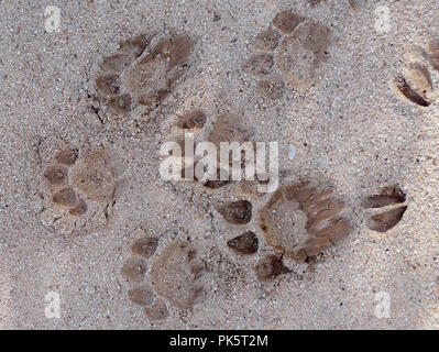 Lion tracks super-impose over the top of impala spoor to show the movement of animals around camp after a heavy rainfall during the night. - Stock Photo