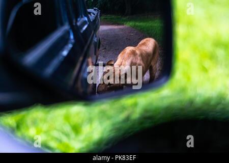 lion in rear view mirror