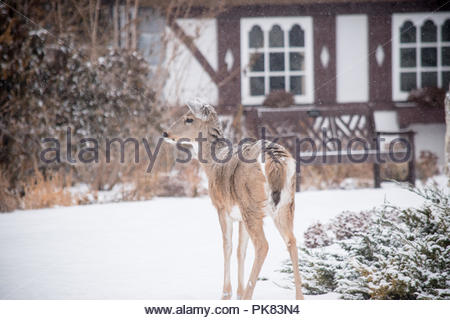 A deer near a cabin in the woods. - Stock Photo