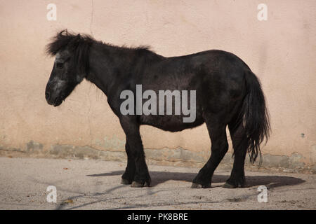 Shetland pony (Equus ferus caballus f. domestica). - Stock Photo