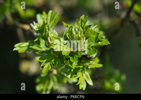 Leaves and flower buds of hawthorn, Crataegus monogyna, bursting opening in early spring, Berkshire, April - Stock Photo