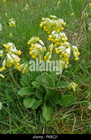 A cowslip, Primula veris, plant in flower with two early leaves and bud of a twayblade, Neottia ovata, Berkshire, May - Stock Photo