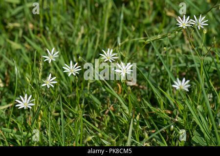 Lesser stitchwort, common starwort, Stellaria graminea, delicate white flowers in grassland, Berkshire, June - Stock Photo