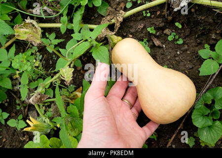 Honeynut squash, a relatively new variety of winter squash, growing in a vegetable garden. - Stock Photo