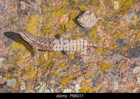 Plateau Lizard (Sceloporus undulatus), Gateway Mesa Open Space Park, on lichen covered boulder, Castle Rock Colorado US. - Stock Photo