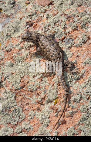 Plateau Lizard (Sceloporus undulatus), Gateway Mesa Open Space Park, Castle Rock Colorado US on lichen covered boulder showing regenerated tail. - Stock Photo