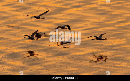Lesser flamingos. Scientific name: Phoenicoparrus minor. Flying Flamingos above the golden water of Lake Natron at sunset. Aerial View. From above. - Stock Photo