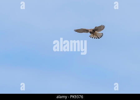 A Common Kestrel hovering in the sky. - Stock Photo