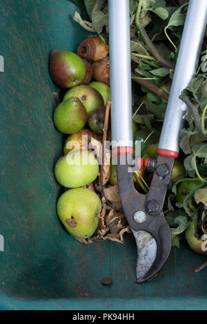 Tree loppers and garden waste from an apple and pera orchard in a wheel barrow. UK - Stock Photo