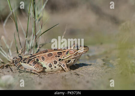 A Northern leopard frog (Lithobates pipiens) sitting in a muddy puddle of Horicon marsh, Wisconsin. - Stock Photo