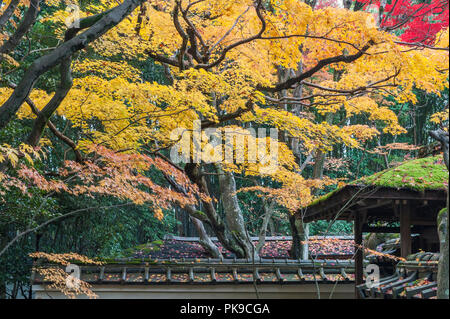 Daitoku-ji, Kyoto, Japan. Colourful autumn foliage hangs over the roofs of Koto-in zen temple - Stock Photo