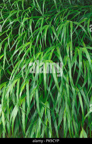 Japanese forest grass (Hakonechloa macra Beni-kaze). Called Beni Kaze hakone grass also. - Stock Photo