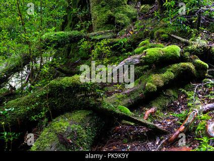 Tree roots with moss in Yakusugi land, Kagoshima Prefecture, Yakushima, Japan - Stock Photo