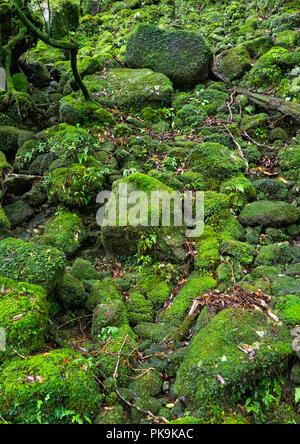 Moss growing in forest in Yakusugi land, Kagoshima Prefecture, Yakushima, Japan - Stock Photo