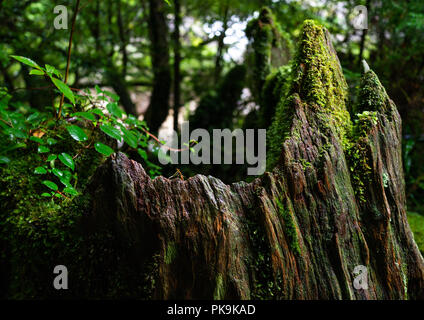 Broken tree trunk in Yakusugi land, Kagoshima Prefecture, Yakushima, Japan - Stock Photo