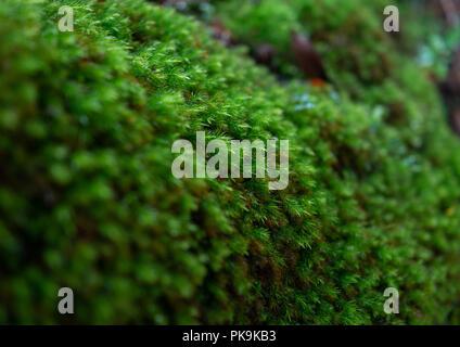 Moss in Yakusugi land, Kagoshima Prefecture, Yakushima, Japan - Stock Photo