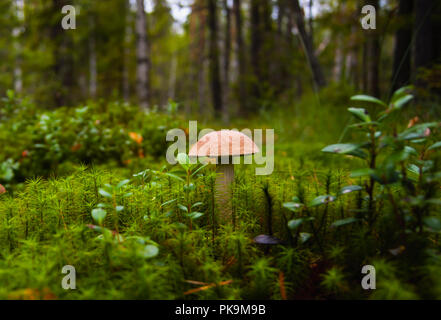Mushroom leccinum in moss. Forest landscape with trees, moss and cowberry bushes. - Stock Photo