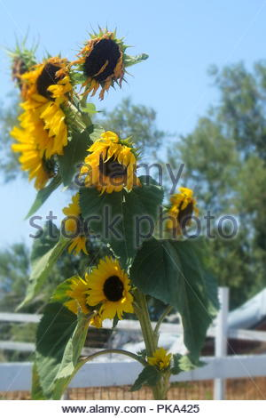 Sun flowers in the baking heat of a Greek summer on the island of Santorini. - Stock Photo