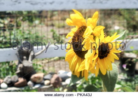 Sun flowers in the baking heat of a Greek summer on the island of Santorini. - Stock Photo