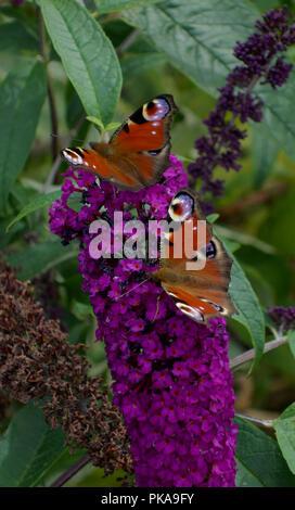 Two Peacock butterflies on purple Buddleia - Stock Photo