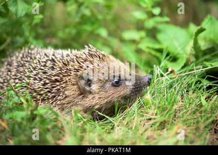 Small cute hedgehog walking in a grass - Stock Photo
