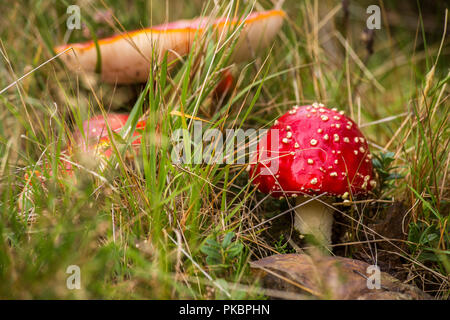 Red Mushroom With White Spots Flake close-up in the autumn forest beauty