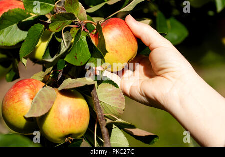 Dundee, Tayside, Scotland, UK. 12th September, 2018. UK weather: The warm weather continues with temperatures reaching 16º Celsius. A woman is harvesting James Grieves apples inside her garden in Dundee Scotland. Credit: Dundee Photographics / Alamy Live News - Stock Photo