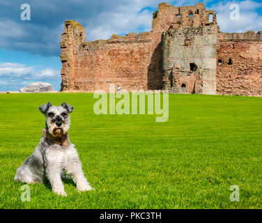 Tantallon Castle, North Berwick, East Lothian, Scotland, UK, 12th September 2018. UK Weather: A beautiful sunny but windy day on the Eastern Scottish coastline.. Frank, a Schnauzer from North Wales, enjoys a visit to the historic 14th century curtain wall castle with Bass Rock in the distance - Stock Photo