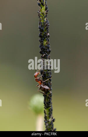 Red Wood Ant (Formica rufa) milks aphids, Germany