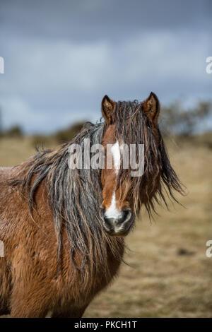 Wild moorland pony on Bodmin Moor, Cornwall - Stock Photo